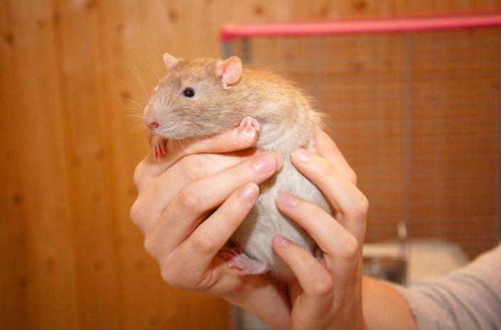 garderie nac rat souris calvados normandie