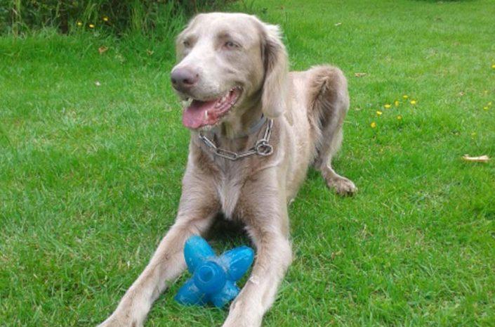 pension canine chien calvados